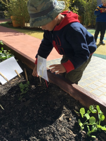 a gardening project encourages children to practise their scientific thinking of observing and predicting, as well as literacy awareness to record their findings, these scientific and literacy practises can be transferred to different contexts.
